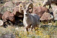 Peninsular Bighorn Sheep (Ovis canadensis nelsoni) (1 of 1)