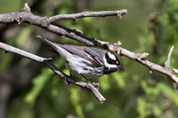 Black-Throated Gray Warbler (Dendroica nigrecens) (1 of 1)
