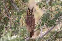 Long-Eared Owl (Asio otus)-4191
