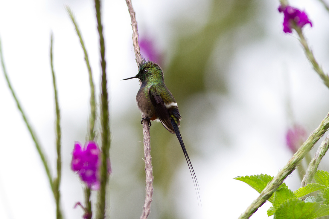 Wire-crested Thorntail (Popelairia popelairii)-4250