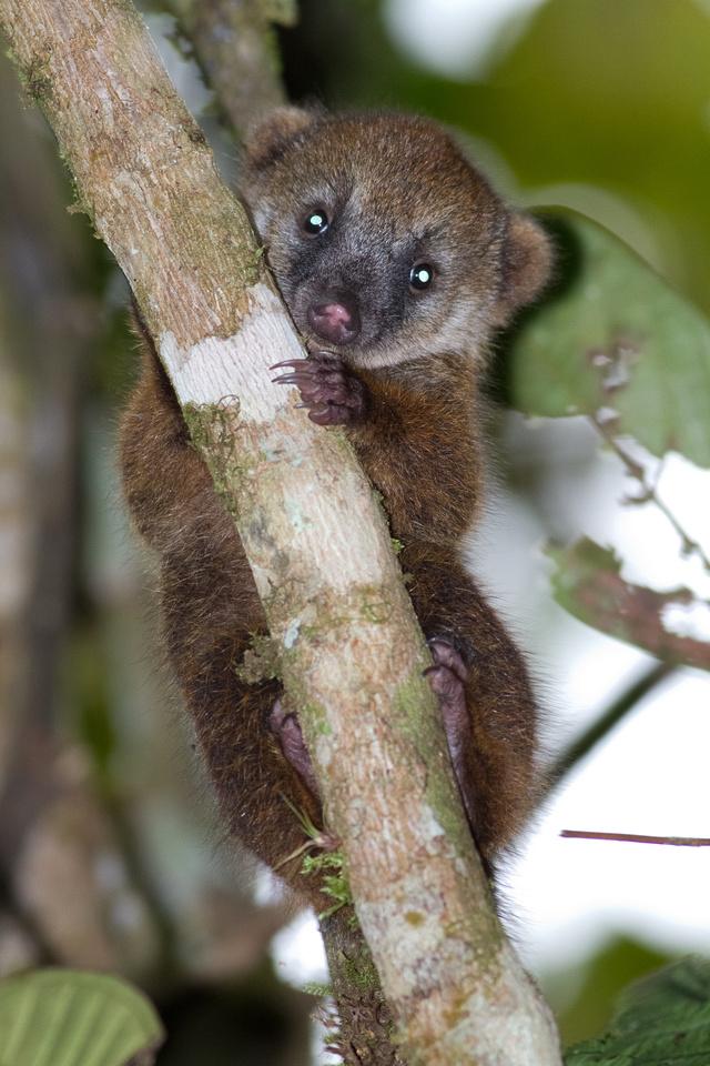 South American Coati (Nasua nasua)-4467