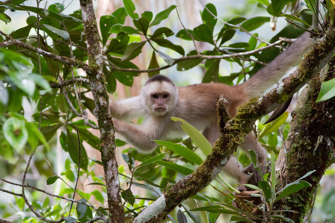 White-fronted capuchin (Cebus albifrons)-3